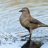 Rusty Blackbird (female) Huntington Beach, CA